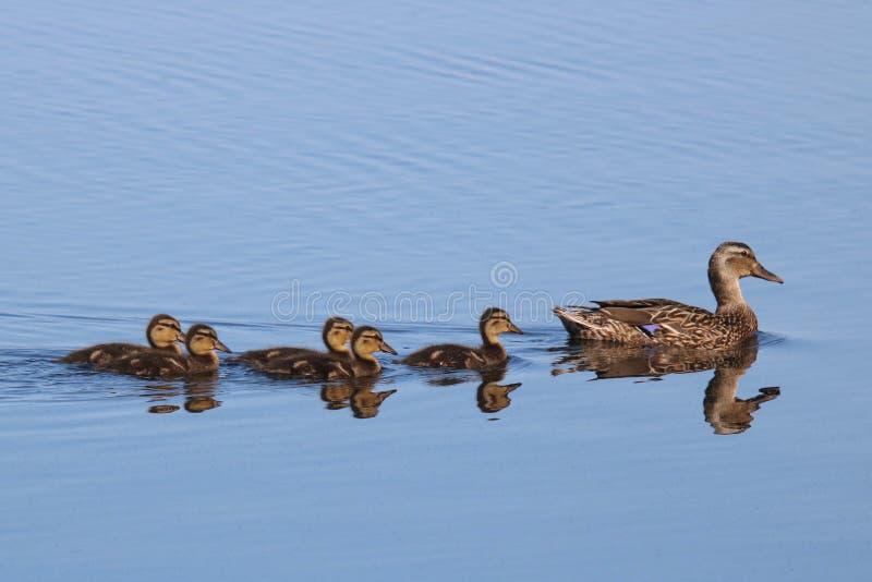 Canetons de Mallard suivant leur canard de mère photos libres de droits