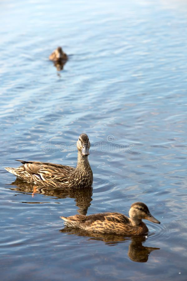 Canetons flottant sur un lac au Canada image libre de droits