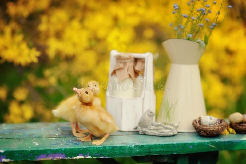 Canetons jaunes photos stock