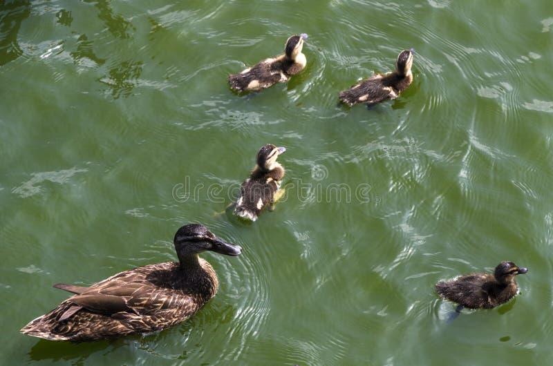 Canetons mignons suivant la mère, lac, équipe suivante d'harmonique de portrait animal paisible figuratif symbolique de famille photographie stock libre de droits