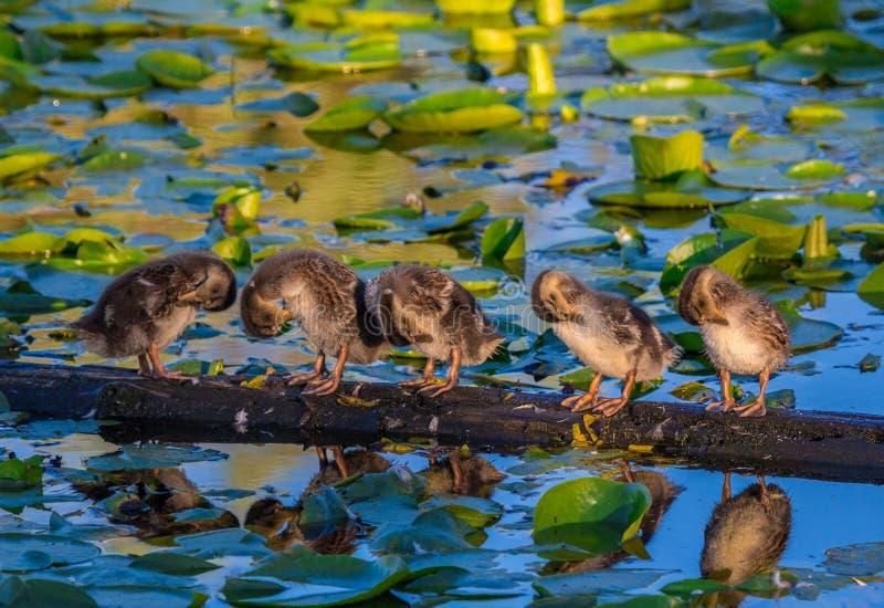 Canetons sur le Lac Washington, Washington State images stock