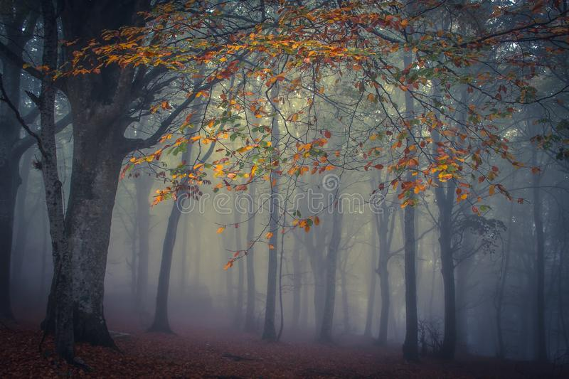 Canfaito enchanted forest in the autumn season with fog at early morning. Italy royalty free stock photography