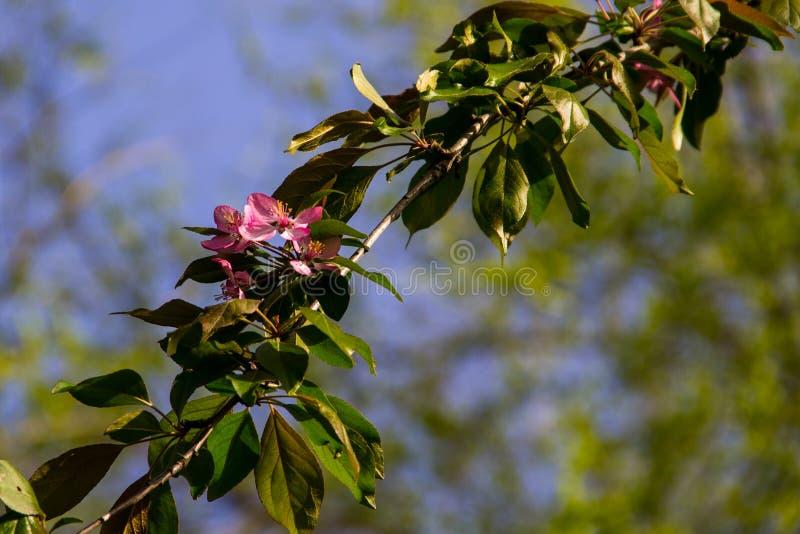 Cangrejo-Apple rosado florece en rama de árbol el la primavera fotografía de archivo