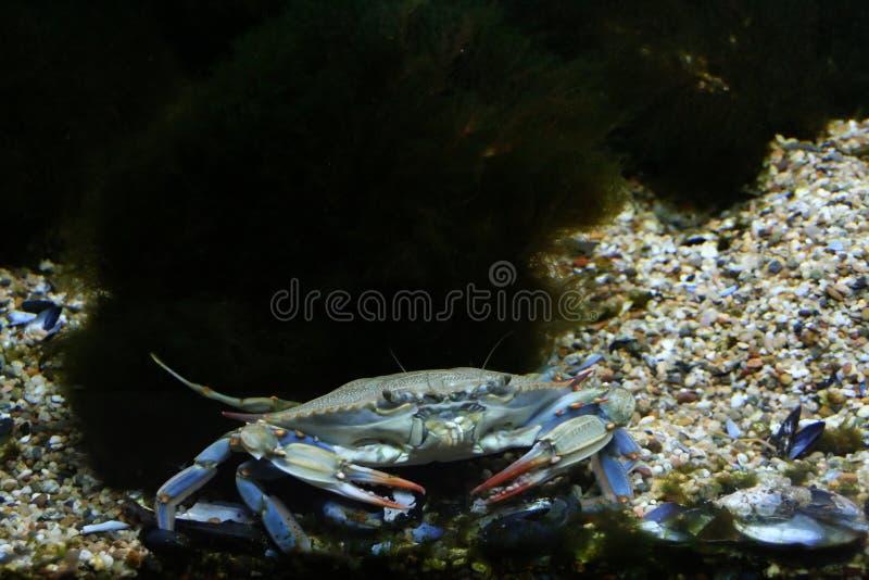 Cangrejo azul fotografía de archivo