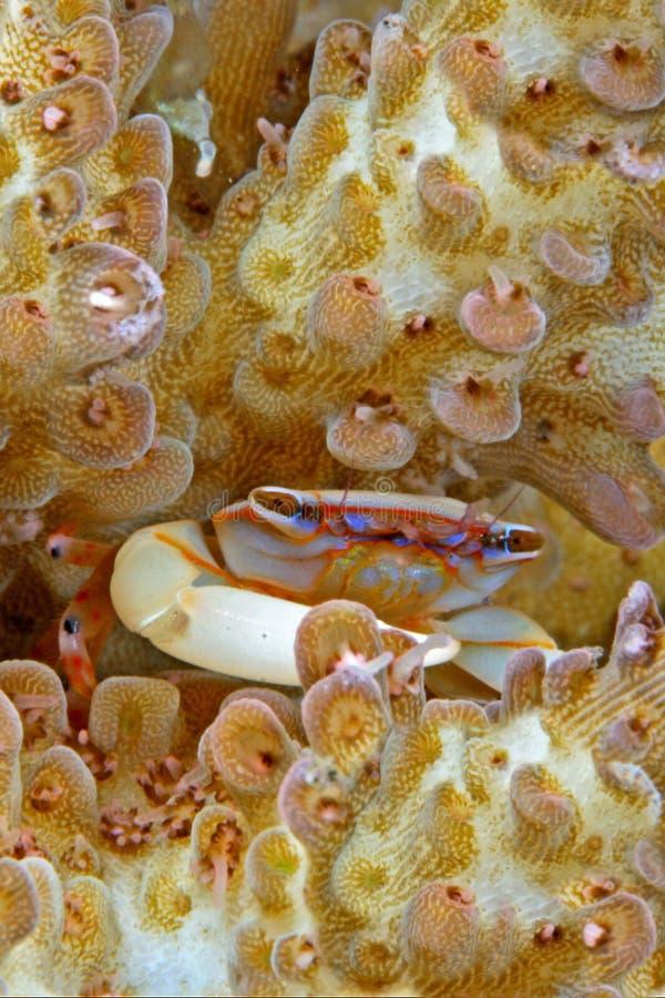 Cangrejo colorido minúsculo coralino duro foto de archivo