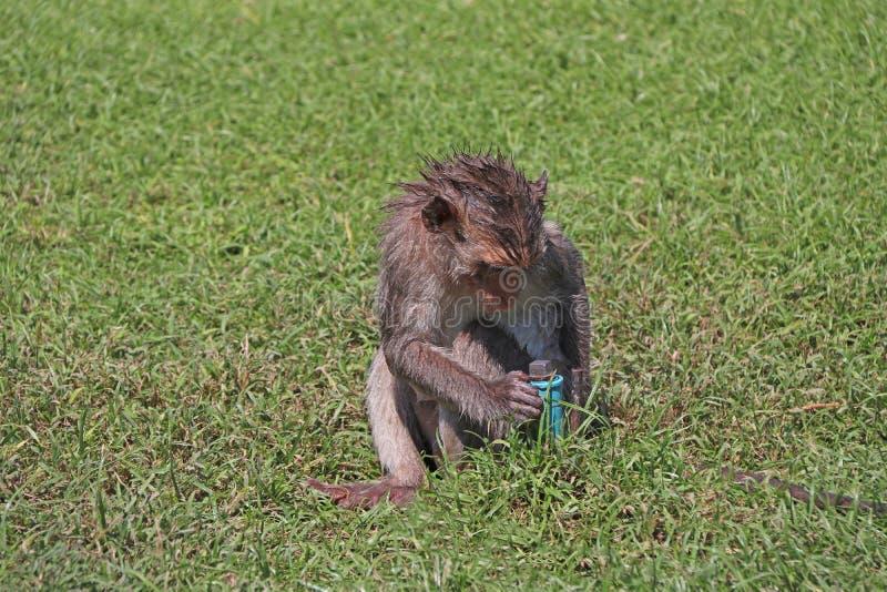 Cangrejo-comiendo el mono de Macaque intente beber del tubo de agua del PVC en el césped fotos de archivo