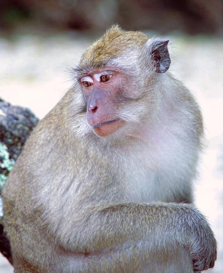 Cangrejo-consumición del Macaque   fotos de archivo