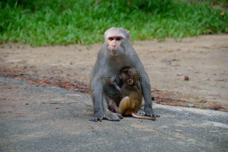 Cangrejo-consumición del Macaque que alimenta a su niño fotos de archivo libres de regalías