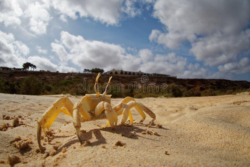 Cangrejo - cursor de Ocypode con su ambiente en la boa Vista, Cabo Verde, Cabo Verde, Océano Atlántico imagenes de archivo