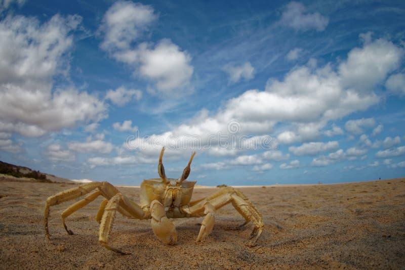 Cangrejo - cursor de Ocypode con su ambiente en la boa Vista, Cabo Verde, Cabo Verde, Océano Atlántico fotografía de archivo libre de regalías