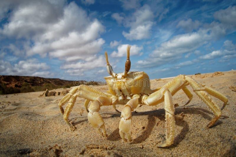 Cangrejo - cursor de Ocypode con su ambiente en la boa Vista, Cabo Verde, Cabo Verde, Océano Atlántico imagen de archivo libre de regalías