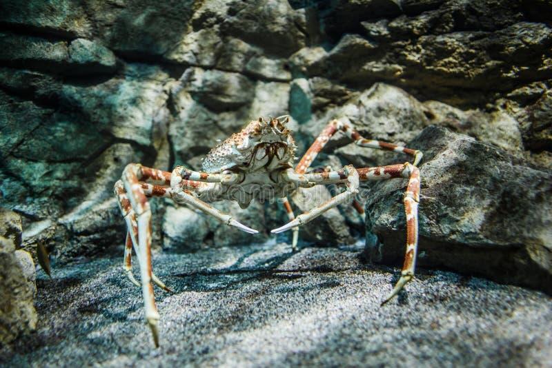Cangrejo de araña japonés - (kaempferi del Macrocheira) imágenes de archivo libres de regalías