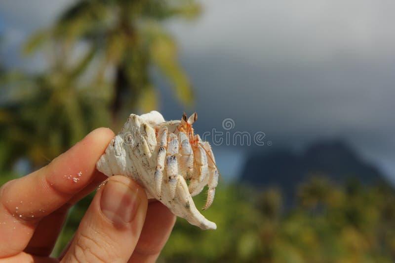 Cangrejo de ermitaño foto de archivo libre de regalías