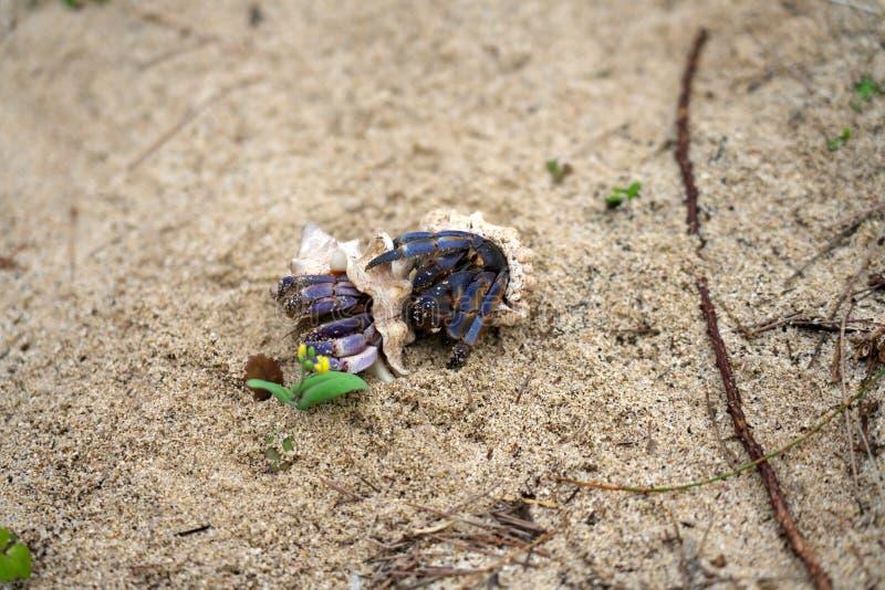Cangrejo de ermita?o terrestre, purpureus Stimpson de Coenobita--nacionalmente protegi? especie, en la playa de Tomori en Amam fotografía de archivo