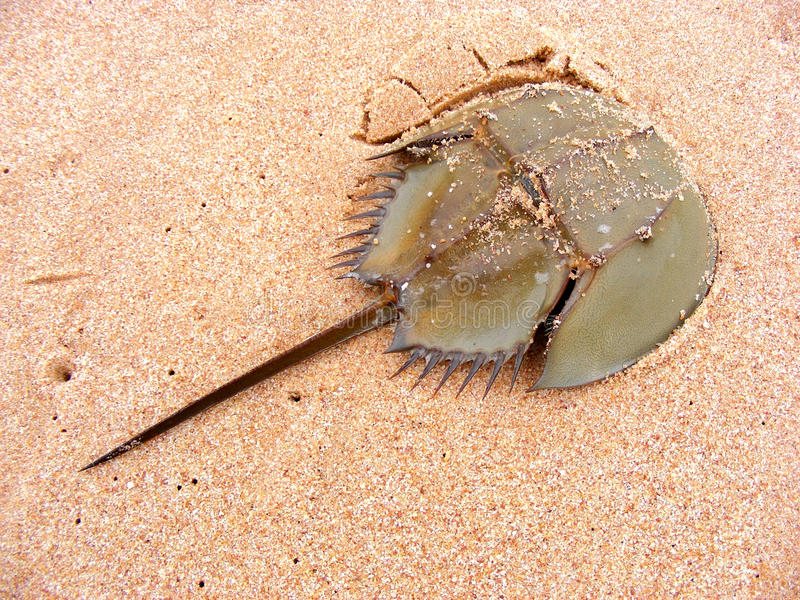Cangrejo de herradura en la playa de la arena fotografía de archivo