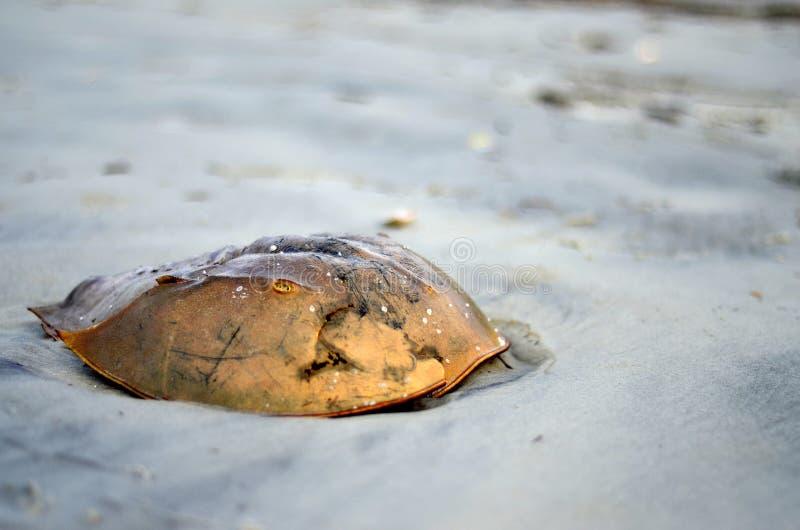 Cangrejo de herradura Shell en Hilton Head Beach imagen de archivo libre de regalías