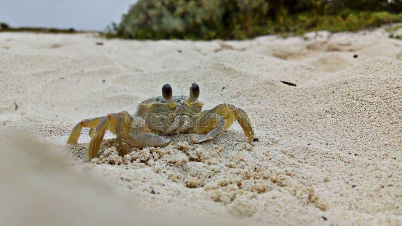 Cangrejo de la playa que camina con sus cuatro piernas imágenes de archivo libres de regalías