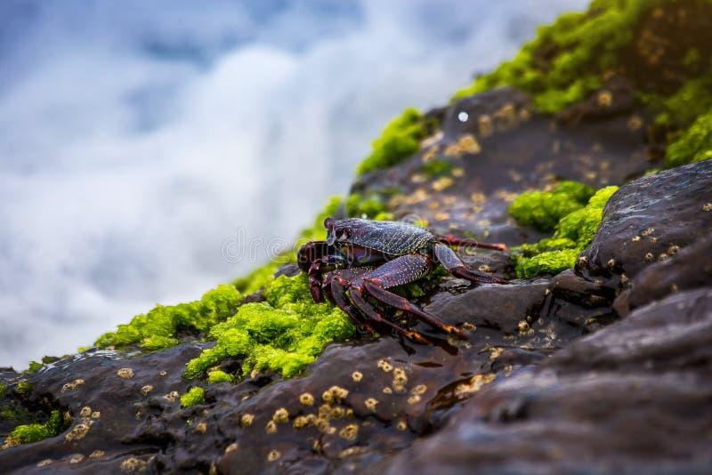 Cangrejo de roca rojo en la orilla rocosa en Canarias de Tenerife imágenes de archivo libres de regalías