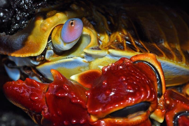 Cangrejo de Sally Lightfoot, las Islas Gal3apagos fotos de archivo