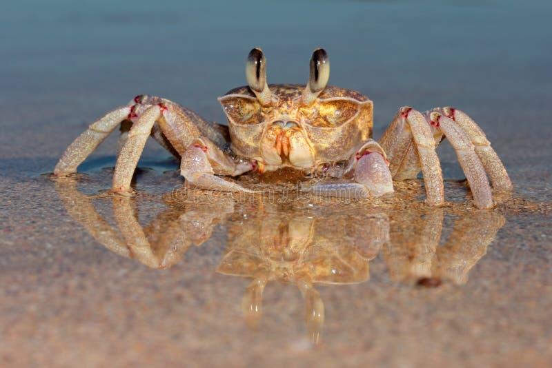 Cangrejo del fantasma en la playa fotos de archivo