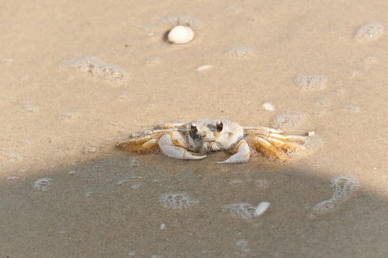 Cangrejo del fantasma que busca seguridad en el agua de marea del Golfo de México imágenes de archivo libres de regalías