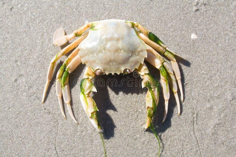 Cangrejo en la playa foto de archivo libre de regalías
