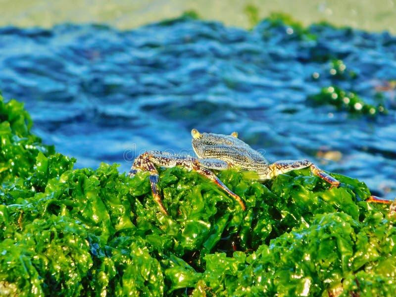 Cangrejo en las algas en la playa de la República Dominicana, bayahibe, centro turístico fotos de archivo