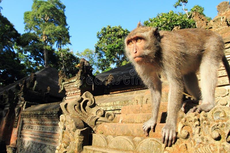 Cangrejo joven que come el Macaque, templo del mono de Ubud, Bali, Indonesia fotografía de archivo
