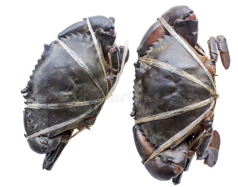Cangrejo negro crudo imagen de archivo