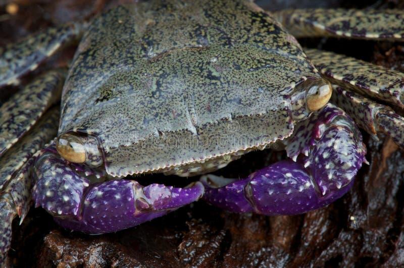 Cangrejo púrpura del brazo foto de archivo libre de regalías