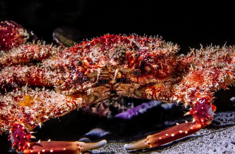 cangrejo que se aferra Rojo-surcado, fórceps de Mithraculus foto de archivo libre de regalías