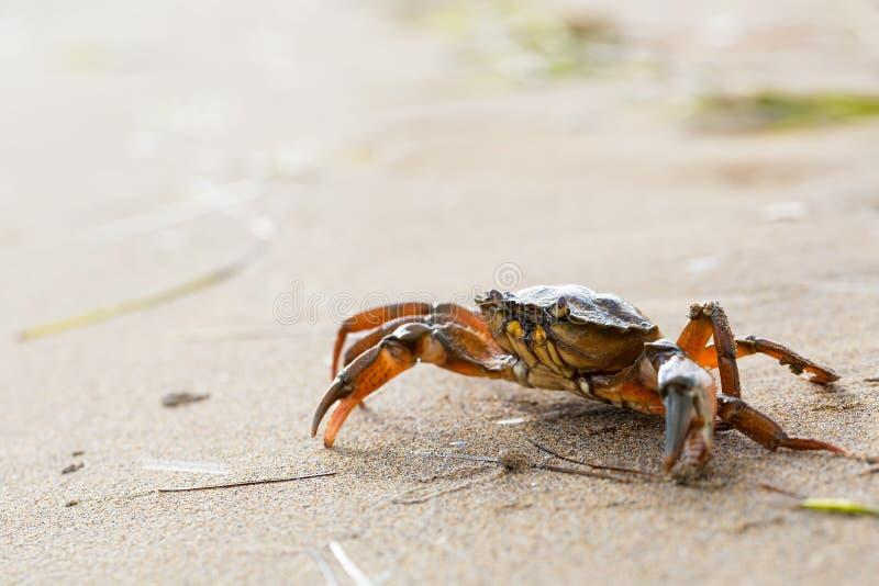 Cangrejo rojo en la playa foto de archivo