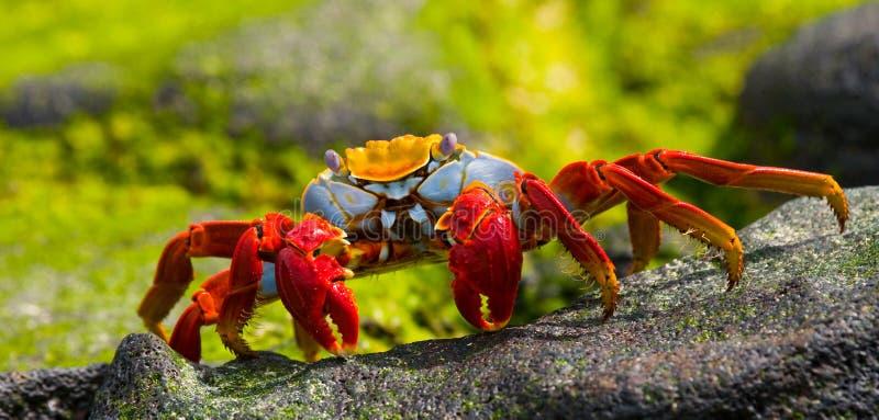 Cangrejo rojo que se sienta en las rocas Las islas de las Islas Gal3apagos Océano Pacífico ecuador fotos de archivo libres de regalías