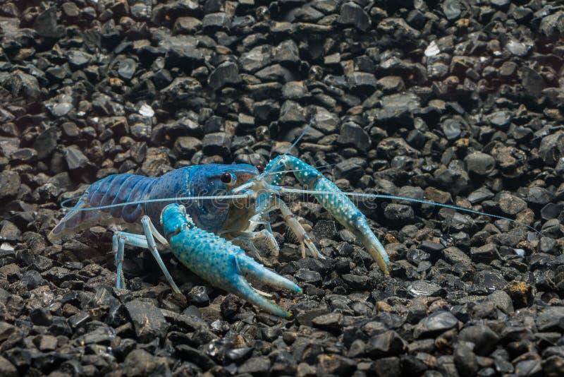Cangrejos azules fotos de archivo