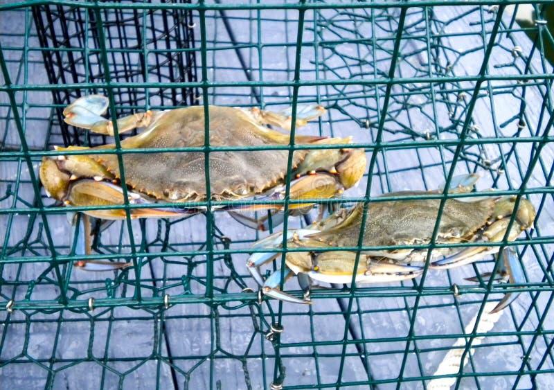 Cangrejos azules recién pescados en un envase de la jaula de la trampa del cangrejo en un muelle imagenes de archivo