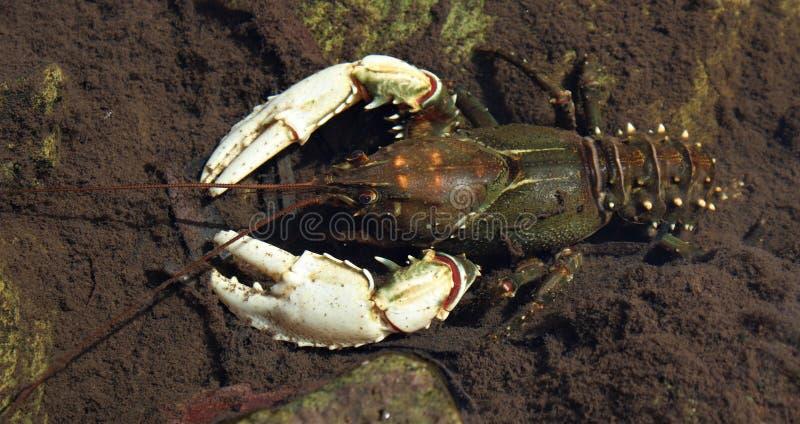 Cangrejos de agua dulce en un río bajo fotografía de archivo libre de regalías