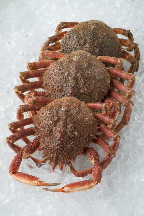Cangrejos de araña crudos frescos en el hielo fotografía de archivo