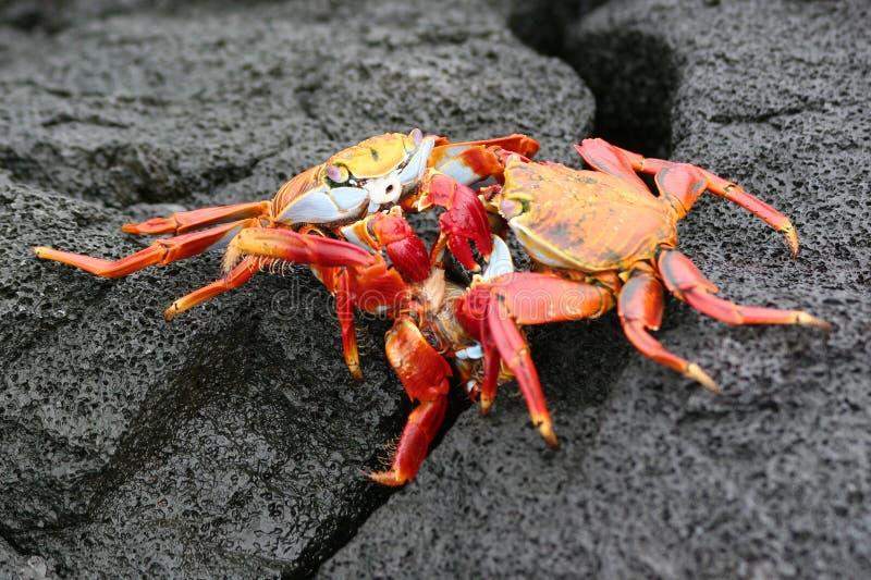 Cangrejos de Sally Lightfoot, las Islas Gal3apagos fotografía de archivo