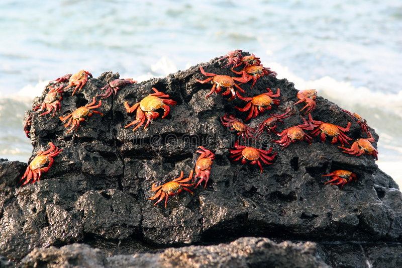 Cangrejos de Sally Lightfoot, las Islas Gal3apagos imagen de archivo