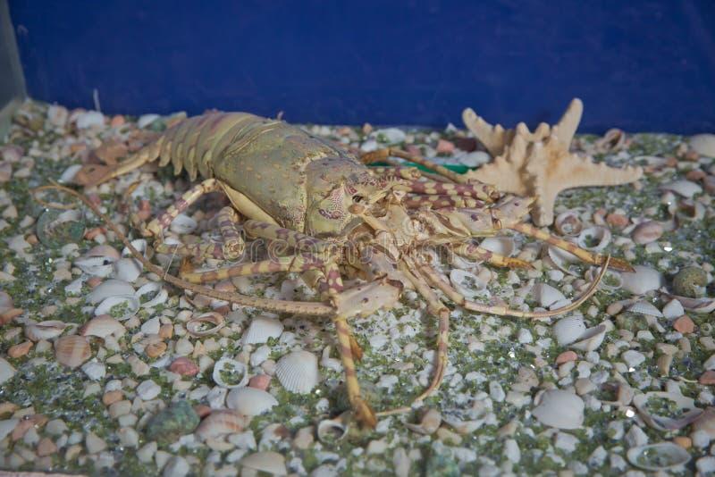 Cangrejos en el acuario Cangrejos digitados amplios, astacus del astacus en la charca imagen de archivo