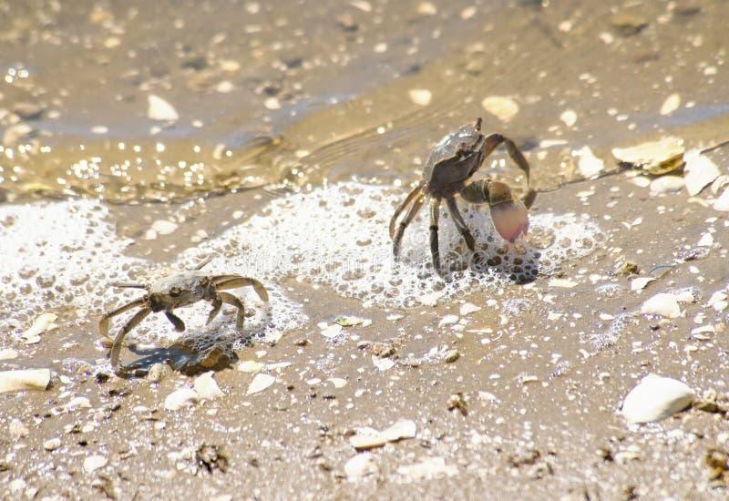 Cangrejos que defienden themseves en la laguna fotografía de archivo libre de regalías