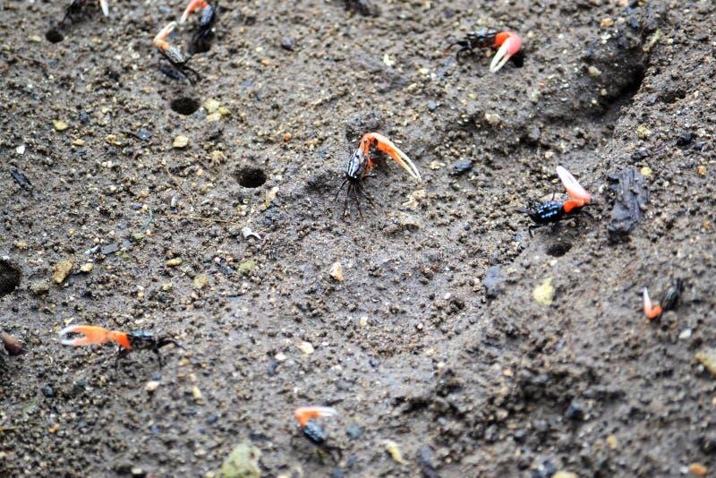 cangrejos Uno-dados en la arena fotografía de archivo