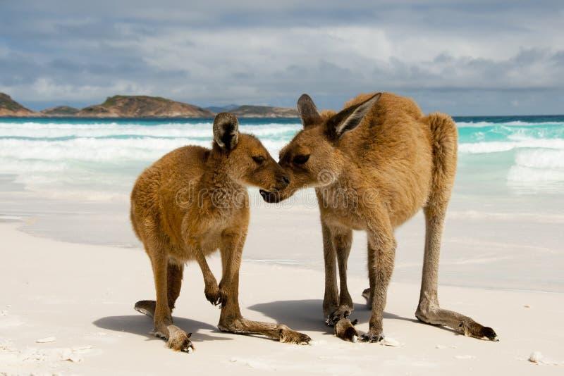 canguri fotografia stock libera da diritti