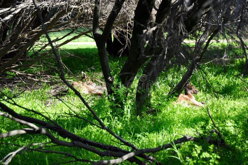Canguri: Isola di Heirisson, Perth immagini stock