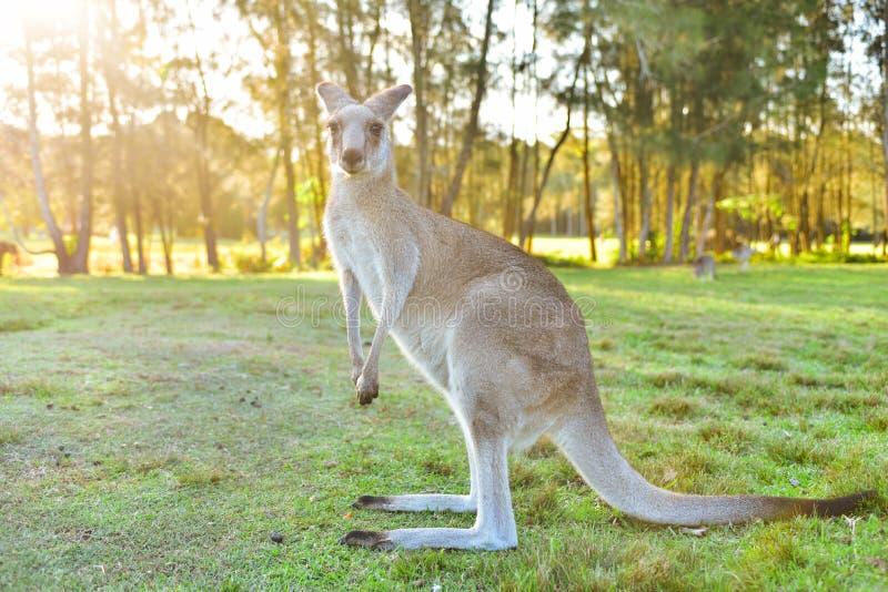Canguri in natura selvaggia fotografie stock
