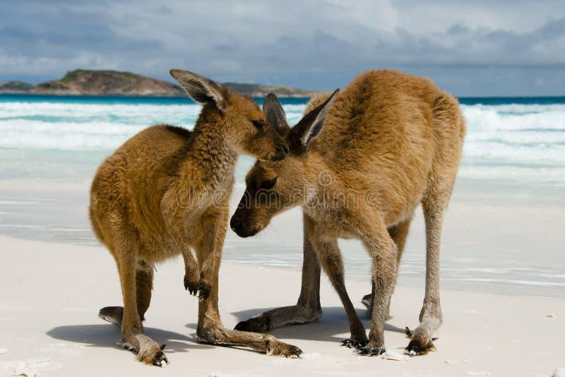 Canguri su Lucky Bay immagini stock