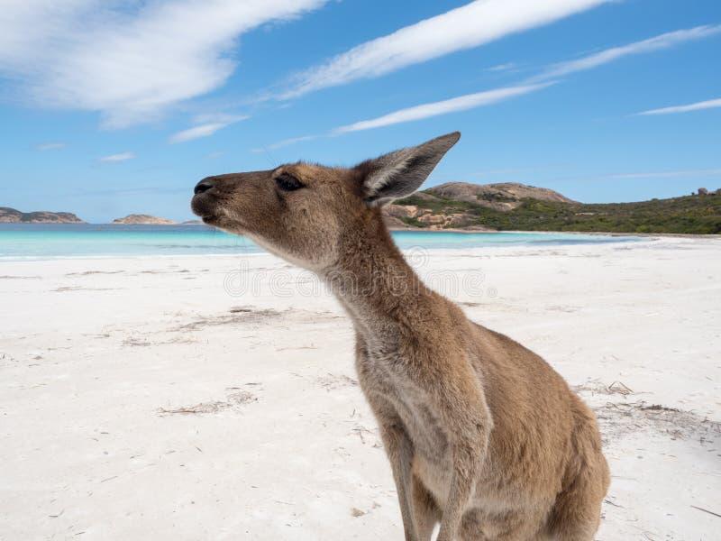 Canguro amichevole alla spiaggia, parco di Lucky Bay Cape Le Grand National fotografie stock libere da diritti