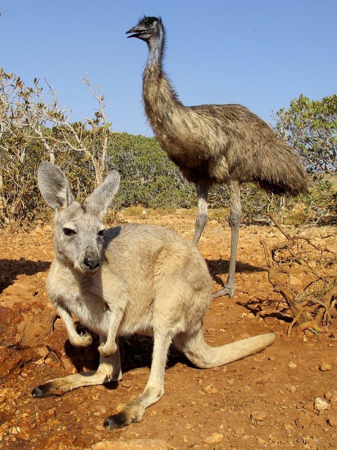 Download Canguro, Australia immagine stock. Immagine di naughty - 55365241
