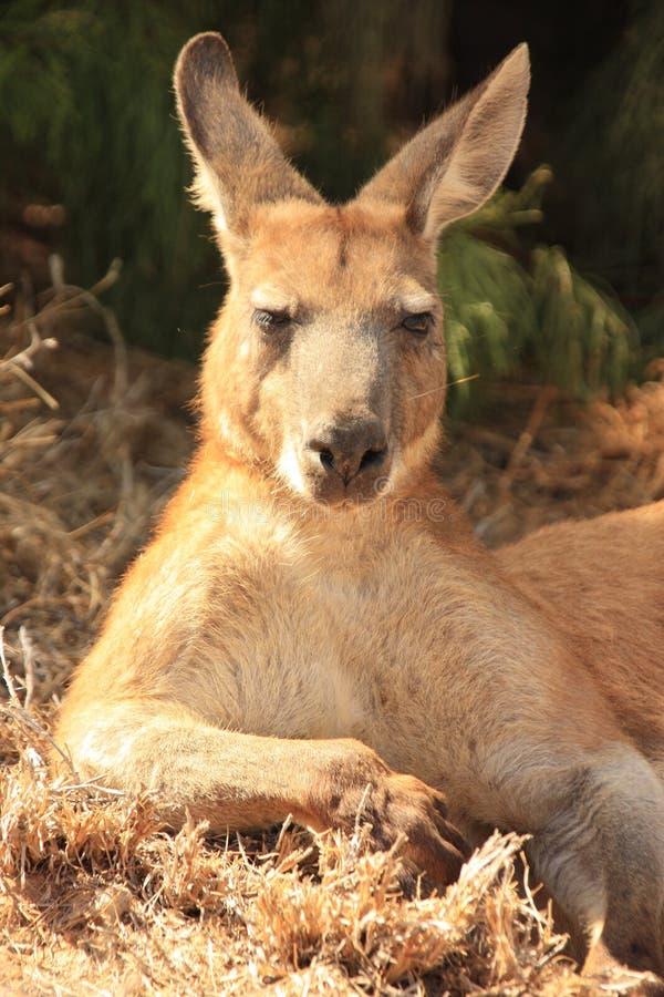 Download Canguro, Australia immagine stock. Immagine di femmina - 55365489