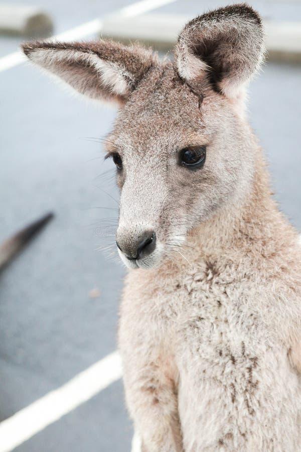 Canguro australiano imagenes de archivo